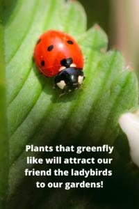 Companion Planting ladybird