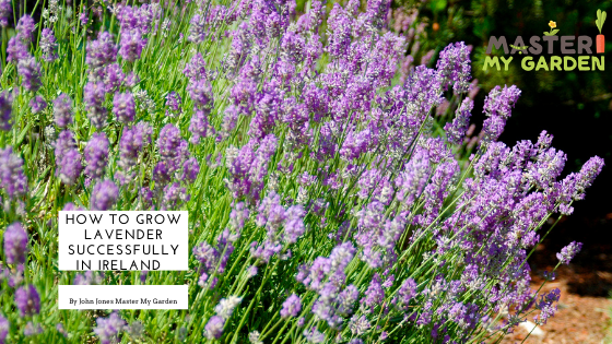 how to grow Lavender in Ireland